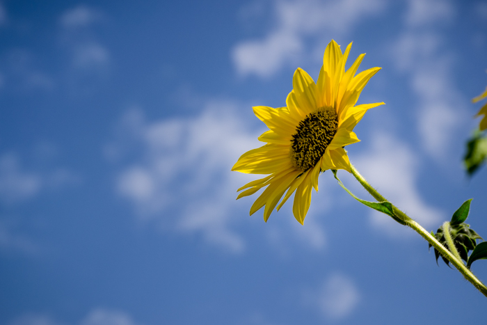 A yellow sunflower against a blue sky demonstrating high contrast in nature photography