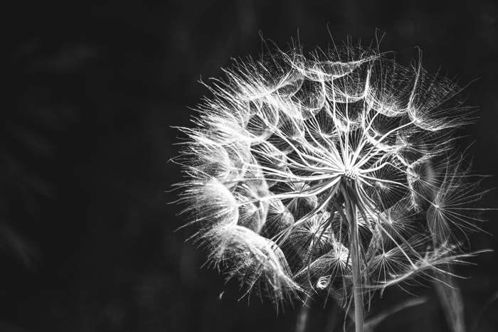 A black and white high contrast image of a dandelion flower with dark shadows and tones