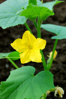 Yellow cucumber flower